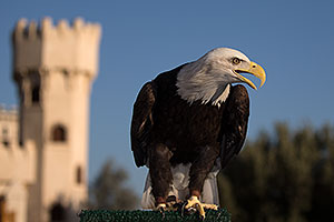 Bald Eagle at Renaissance Festival 2013 in Apache Junction