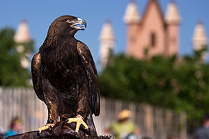 Golden Eagle at Renaissance Festival 2013 in Apache Junction