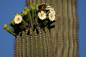 Bird on a Saguaro flower in Superstitions