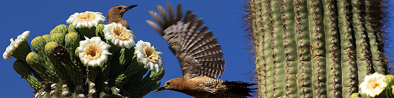 Flying female Woodpecker and stationary male at Saguaro flowers in Superstitions