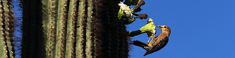 Woodpecker on a Saguaro