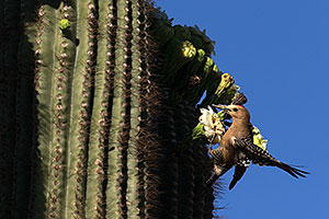 Male Woodpecker on a Saguaro