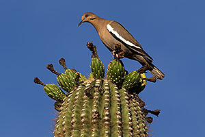 Male White-winged Dove on a Saguaro