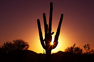 Saguaro at sunset in Mesa