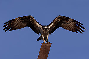 Osprey in Irvine, California