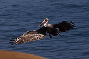 Pelican in flight in La Jolla, California