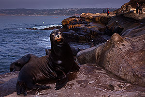 Sea Lions in La Jolla, California
