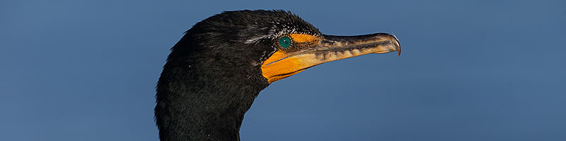 Double Crested Cormorant in La Jolla, California