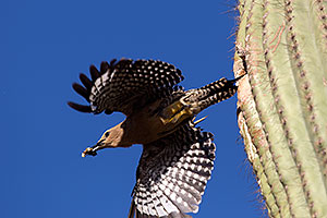 Gila Woodpecker leaving the nest