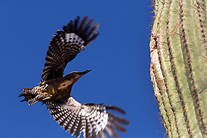 Gila Woodpecker flying to the nest