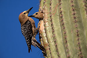 Male Gila Woodpecker waiting his turn as female is leaving the nest