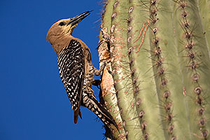 Male Gila Woodpecker sticking his tongue out at the nest