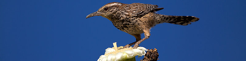 Cactus Wren on top of a Saguaro Flower in Superstitions