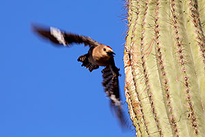 Male Gila Woodpecker leaving the nest in Superstitions