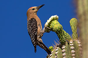 Male Gila Woodpecker on Saguaro flower in Superstitions
