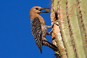 Male Gila Woodpecker brings fruit to his nest to feed the baby
