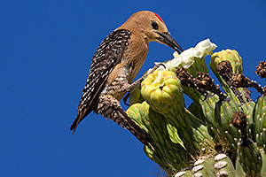 Male Gila Woodpecker feeding on Saguaro flower in Superstitions