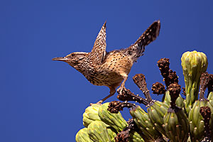 Cactus Wren in Superstitions