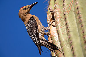 Male Gila Woodpecker by the nest in Superstitions