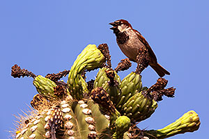 House Sparrow (male) in Superstitions