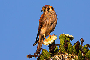 American Kestrel female in Superstitions