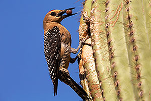 Male Gila Woodpecker bringing fruit to the nest
