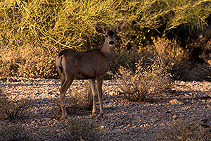 Mule deer in Superstitions
