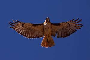 Red Tailed Hawk (adult) in Superstitions