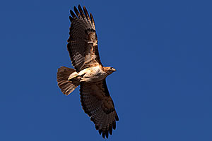 Red Tailed Hawk (adult) in flight in Superstitions