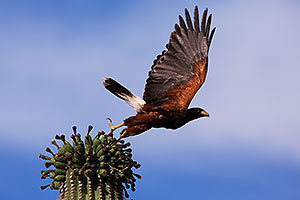 Harris Hawk taking of from Saguaro Cactus