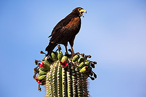 Harris Hawk on top of a Saguaro Cactus