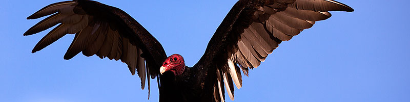 Turkey Vulture in Superstitions