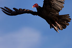 Turkey Vulture in flight in Superstitions
