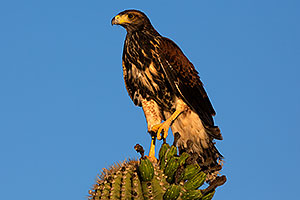 Harris Hawk (juvenile)