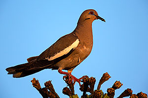 White Winged Dove on Saguaro Cactus fruit in Superstitions