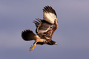 Harris Hawk in Superstitions