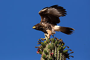 Juvenile Harris Hawk in Superstitions