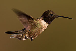 Annas Hummingbird in Tucson