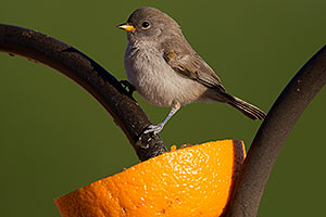 Verdin chick in Tucson