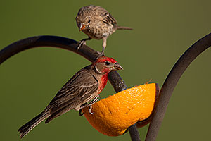Male (front) and female House Finches in Tucson