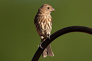 Female House Finch in Tucson