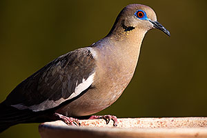 White Winged Dove in Tucson