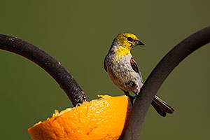 Adult Male Verdin in Tucson