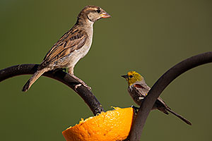 Female Finch in Tucson