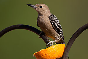Male Woodpecker in Tucson