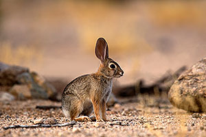 Rabbit in Tucson