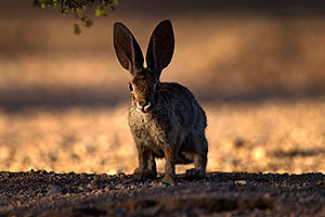 Desert Cottontail in Tucson