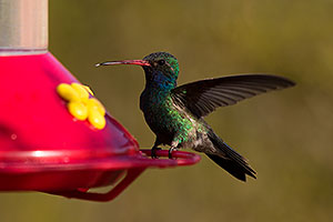 Broad Billed Hummingbird in Tucson