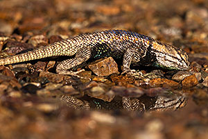 Desert Spiny Lizard in Tucson