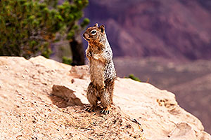 Squirrel at Mather Point at Grand Canyon